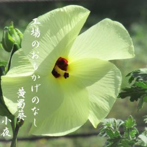 トロロアオイ(黄蜀葵)