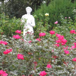 冬薔薇と石像で