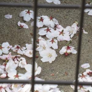 保育園の桜で