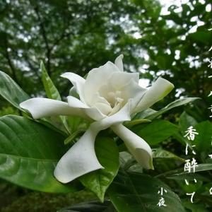梔子の花で