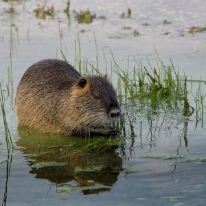 ストラスブールの川を泳ぐ謎の生物ヌートリアの正体に迫る。プレッツェルを食べている?