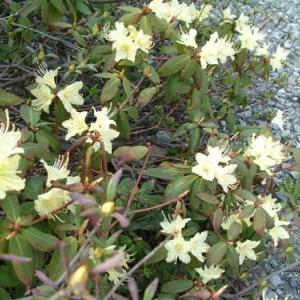 キバナシャクナゲ【軽井沢 春の便り】Rhododendron