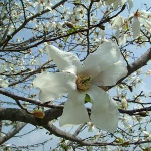 コブシ 【軽井沢 春の便り】Magnolia