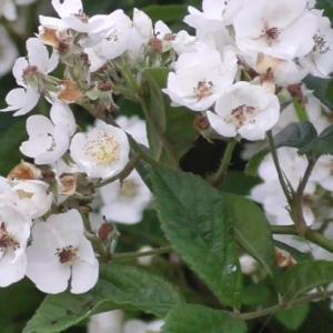 満開のノイバラ  Wild rose in full bloom