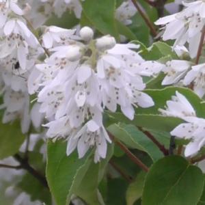 満開のウノハナ Deutzia crenata in full bloom
