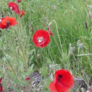 風に揺れるレッドポピー  Crimson poppy shaking in the wind