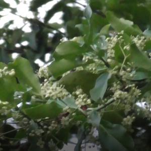 ツルマサキの花 Flower of Euonymus fortunei