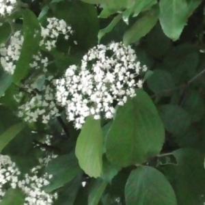 ガマヅミの花 Flower of Viburnum dilatatum