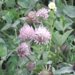 ムラサキツメクサの花 Flower of purple clover