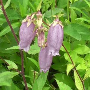 ヤマホタルブクロの花 Flower of Campanula punctata
