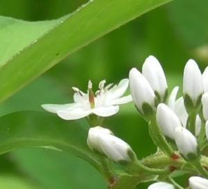 オカトラノオの開花宣言 Declaration of flowering