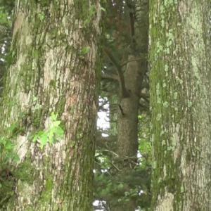 ハルニレの木  Japanese Elm