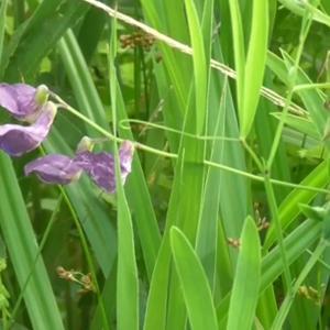 レンリソウの花 Flower of Lathyrus
