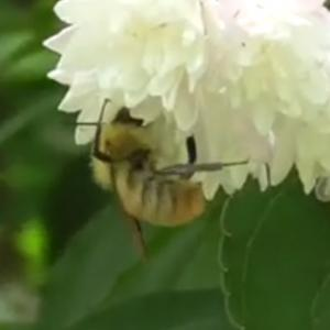 マルハナバチ(ウスリーマルハナバチ)Bombus(Bombus ussurensis)