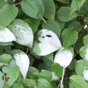 マタタビの白い葉と花 White leaves and flowers of Actinidia polygama