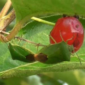 ヒョウタンボクを吸うカメムシ Stink bug sucking the fruit of Lonicera tschonoskii