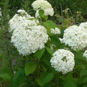白いアジサイ White hydrangea