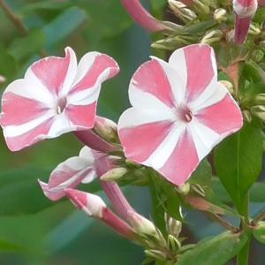 花魁草(ピンク&ホワイト)Phlox paniculata