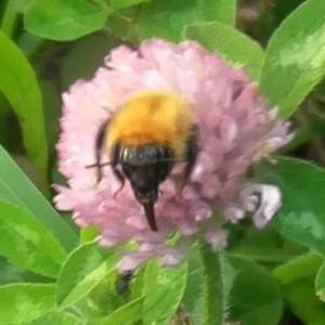 ムラサキツユクサの蜜を吸うトラマルハナバチ