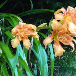 ヤブカンゾウの花 Flower of Daylily