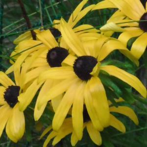 ルドベキアの花(花弁が長い種)Rudbeckia flowers (long petals)
