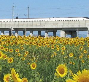 ひまわりとゆふいんの森・ひまわりと電車のブログ素材