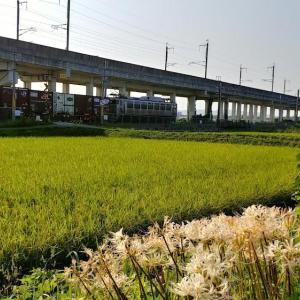 撮り鉄「彼岸花と銀釜EF81303機関車貨物列車」