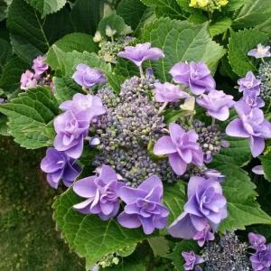 紫陽花のイラスト素材とフリー写真