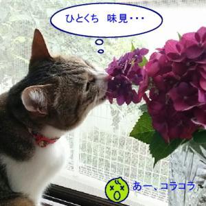 猫漫画「チコちゃんと紫陽花」