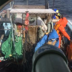 ワカメ漁中盤