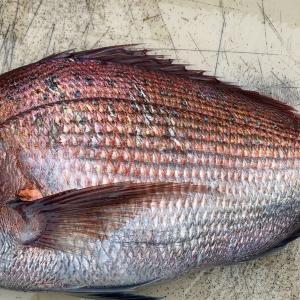 三陸産天然真鯛