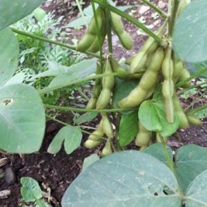 枝豆も美肌成分です