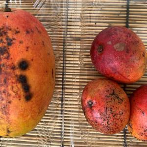 アップルマンゴー食べ比べ!甘く濃厚な味わいがミニマンゴーの魅力!