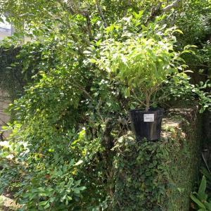 南米原産なのに台湾連翹(タイワンレンギョウ)!可憐な青い花咲く常緑樹