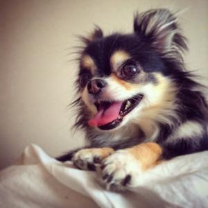 チワワたち犬が甘噛みする理由を知りたい人は読んでみて!原因と対策