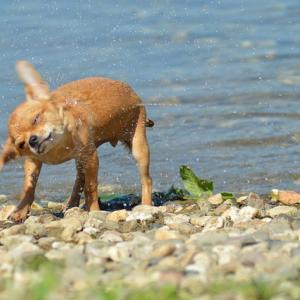 チワワたち犬が風呂が好き嫌いになる原因!シャワーとお風呂どっち派