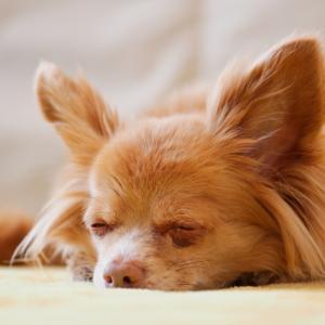 チワワたち犬の老化現象のサイン!症状や行動をチェック