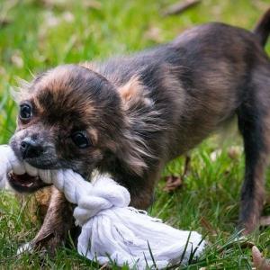 チワワたち犬に与えるのがNGな注意すべきおもちゃ!NG理由と特徴