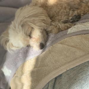 犬が捻挫する原因や重度別症状と自宅で可能な応急処置法と病院の治療