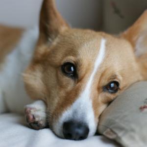 愛犬の分離不安症の主な症状とかかる原因を追究
