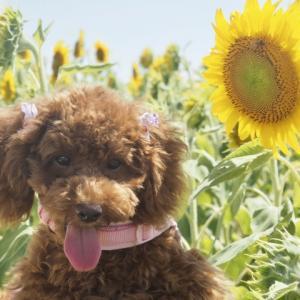暑い日に愛犬に元気がないが脱水症状?原因や予防や対処法