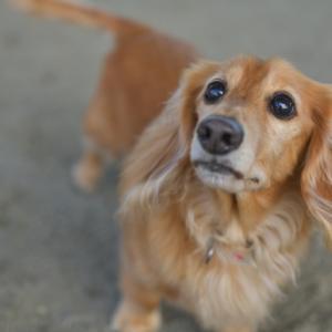 愛犬の股関節形成不全の予防法と主な3つの治療法と手術費用