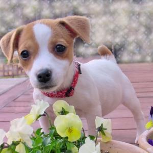 犬の尿路結石の3つの治療法!薬の種類や手術費用と療法食