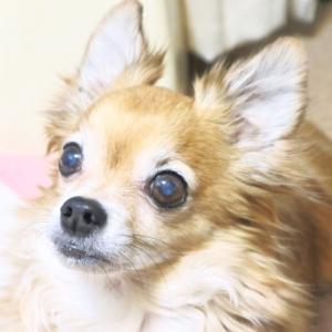 犬が白内障にかかる原因と種類やステージ毎の症状