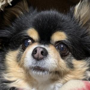 犬が結膜炎になる原因と主な症状と結膜炎の種類