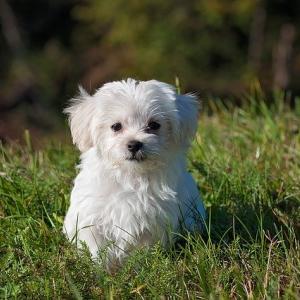 犬の結膜炎の症状に伴う行動や目やにのチェック!好発犬種は?