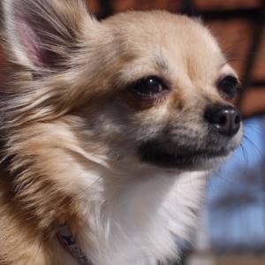 犬の結膜炎の予防法と治療法!オススメ目薬と人間用目薬の注意点