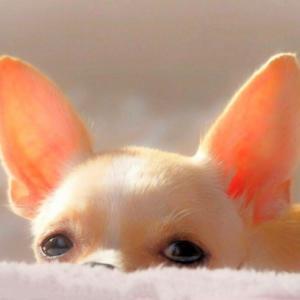 犬の中耳炎の主な原因と症状!外耳炎との違いや好発犬種は