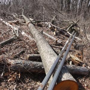 丘に上の広葉樹を板割りする