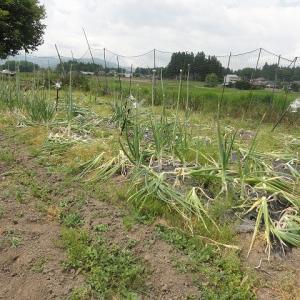 玉葱の収穫